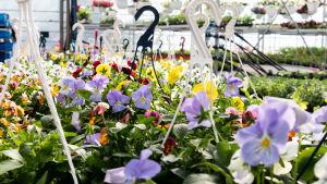Blommor i växthus.