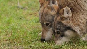 Kaksi sutta Ähtärin eläinpuistossa