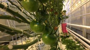 Kasvihuoneessa tomaatteja Närpiössä