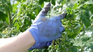 """Carolina Holmqvist rensar, """"tjuvar"""" tomatplantor i ett växthus. Närbild av hennes händer, iklädda blå plasthandskar."""