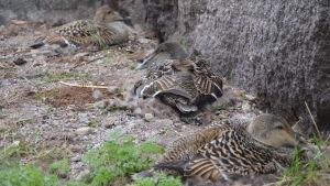 Flera brunspräckliga ejderhonor ruvar i sina bon vid en husvägg.