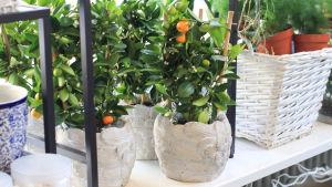 Små citrusträd i krukor