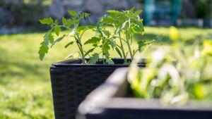 Tomatodling i en trädgård.