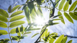 Gren av rönn med gröna löv som genomlyses av solen mot en blå himmel