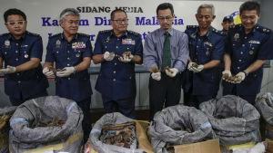 Tulltjänstemän vid Kuala Lumpurs flygplats visar Myrkotsfjäll som beslagtagits.