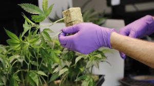 Cannabis odling
