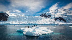 Pingviner på isflak på Antarktis