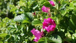 Rosa vresrosblommor och en humla i en av blommorna.