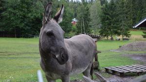 En åsna står i en hage med höjda öron.