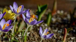 En insekt hälsar på en blå krokus.