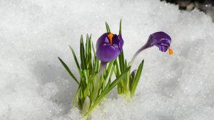 Krokus i snö