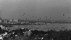 Gammalt svartvitt foto på Arabiastranden från 1970, sjöfåglar flyger över viken.