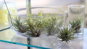 Små luftväxter på en glashylla