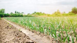 Purjolök växer upp i rader på en ukrainsk åker. Solen sprider ett varmt ljus över odlingen.