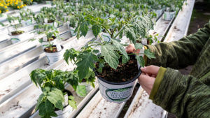 Tomatplantor i växthus.
