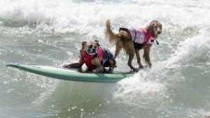 Två hundar med flytvästar på ett surfbräde i vattnet deltar i tandemtävlingen på Huntington Beach i Kalifornien, USA, den 28 september 2014.