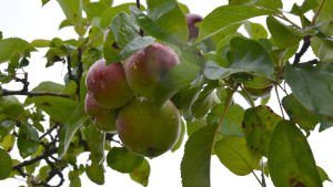 Äpplen i ett äppelträd.