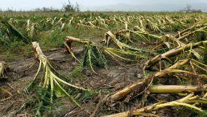 Plantor som förstörts av orkanen Maria.