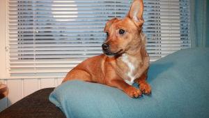 Ruskea pieni koira makaa sohvan selkänojalla ikkunan edessä.