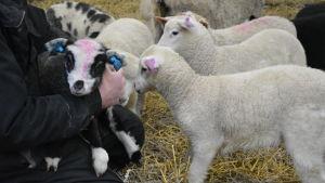 Flera lamm som vill bli krafsade.