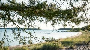 Strand med barrträd i förgrunden.