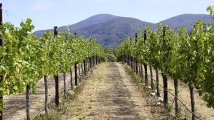 Vinodling i Napa Valley i USA.