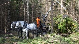 Två hästar drar ett lass med virke i en skog, en man står och jobbar med virket.