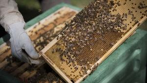 Mehiläisiä kennossa