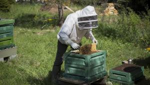 Mehiläisten hoitaja Tanja Oreto avaa mehiläispesää.