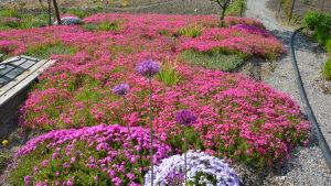 Ett hav med röda blommor i en trädgård