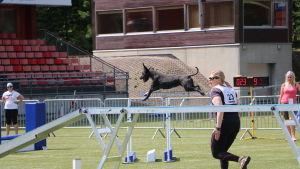 en hund springer längs med en balansbom på en agilitytävling.