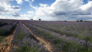 Lavendelfält är en vanlig syn i Procenve i södra Frankrike.