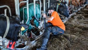 Kristoffer Nilsson fångar ko