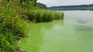 Blågröna alger vid Savijärvi träsk.