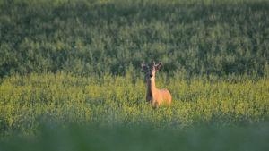 En hjort står på en åker omgiven av gula blommor, det är en rapsodling. hjorten har horn.