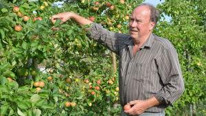 Mikael Henriksson inspekterar äpplena i sina äppelträd.