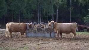Två långhåriga kor som äter hö
