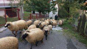 En skock får i en by i Bosnien.