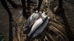 Tandfisk, kallar fiskarna vid Turkanasjön den här fisken