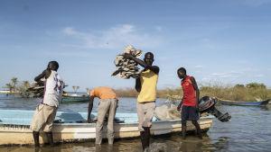 En stor del av fisken torkas och exporteras sedan till Kongo.