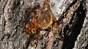Närbild av sipprande kåda på träbark.