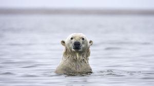 Jääkarhu kaulaansa myöten sulassa vedessä Alaskan edustalla.