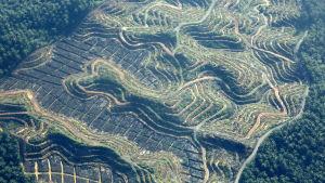 Palmuöljyviljelys raivattu viidakkoon Indonesiassa.