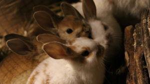 Kaninungar i en bur.