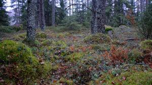 Barrskog, närbild på grön mossa.