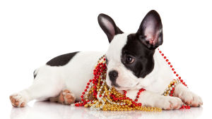 En liten svartvit hund ligger på vitt golv. Har guldfärgade, röda och vita pärlor runt halsen.