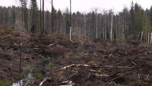 Metsän hakkuualue Raaseporissa