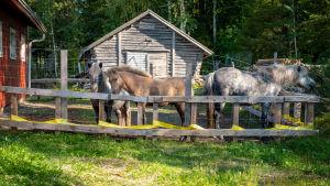 Tre hästar står inne i en hage framför ett gammalt skjul.