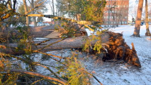 Träd som fällts av stormen.