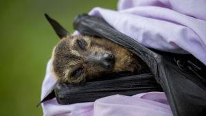 En död fladdermus som fallit ner från en koloni i staden Cairns i Queensland i Australien  i november 2018. Tusentals fladdermöss gick samma öde till mötes.